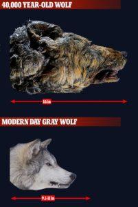 Wolf dead body, వావ్ ! రాకాసి తోడేలు.. ఏ నాటిది ?