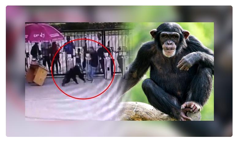 chimpanzee escapes, చైనా చింపాంజీ దూకుడు.. కుమ్ముడే కుమ్ముడు !
