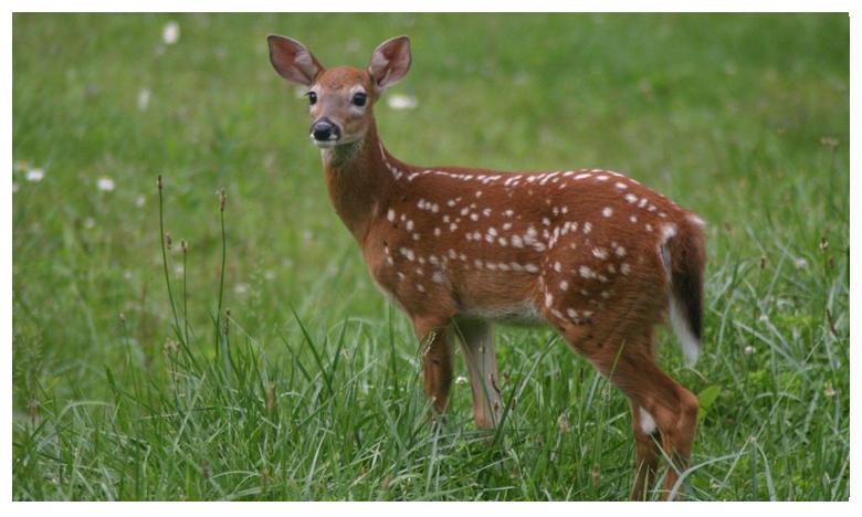 Police rescue young deer from busy highway in Ohio in US, అమెరికా పోలీసులను ముప్పుతిప్పలు పెట్టిన జింకపిల్ల