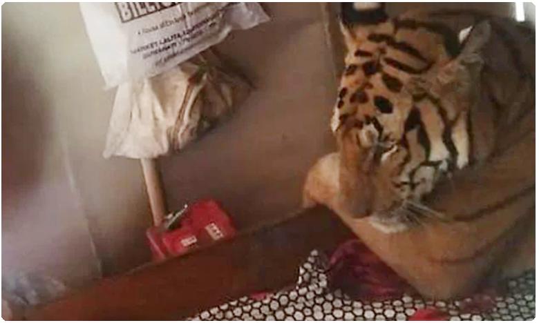 tigers bed n breakfast, బెడ్ పై టైగర్..అస్సాంలో రేర్ సీన్ !