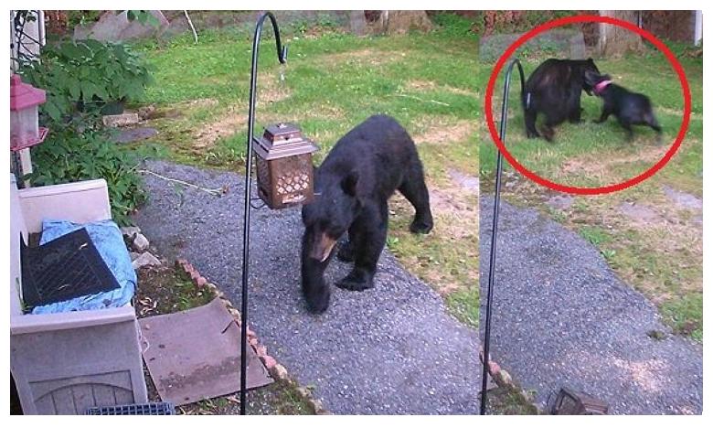 Brave dog chases bear from backyard in New Jersey, ఎలుగుబంటితో ఫైట్ చేసిన శునకం