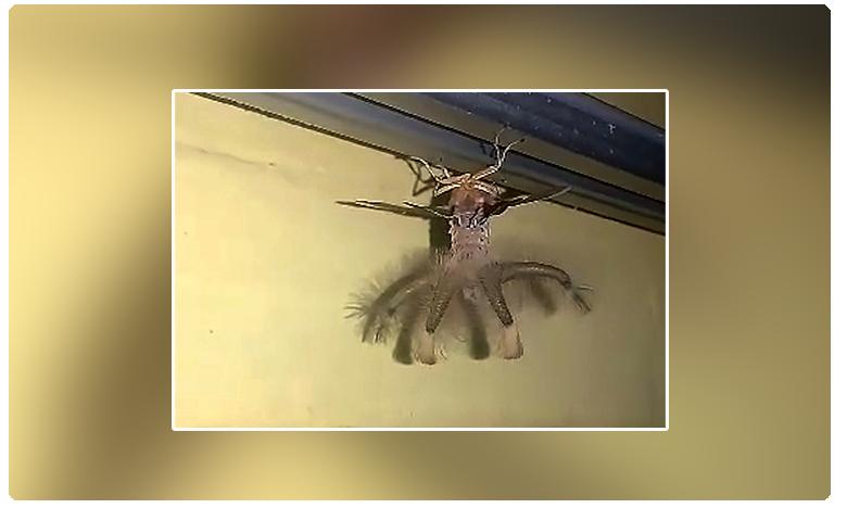 what on earth is that.. bizarre alien like wingled creature found in indonesia, ఏమిటా వింత జీవి ? ఏలియన్ లా ఉందే !