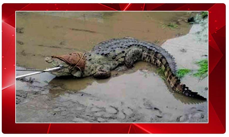 Vadodara: Crocodiles Swim To Residential Areas As River Water Floods City, గుజరాత్: రోడ్లపైకి కొట్టుకొస్తున్న మొసళ్లు.. ప్రాణభయంతో ప్రజలు