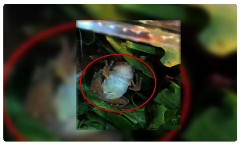 """Family Finds Frog Alive In Packaged Organic Salad, ఆర్గానిక్ సలాడ్లో అనుకోని అతిథి.. """"బెక్ బెక్"""" అంటూ చప్పుడు..!"""