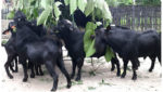 Goat fined rs 500 for eat haritha haram plant in telangana