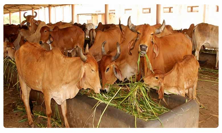 No Poison Effect on Dead Cows in Kotturu, Tadepalli