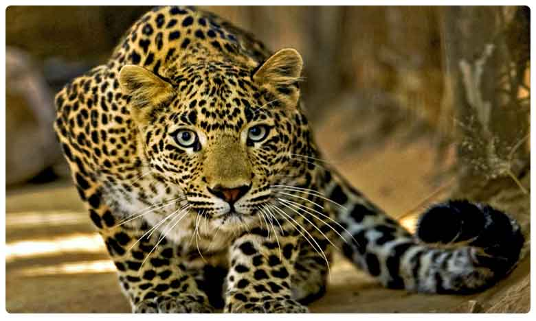 Animal lovers demand to implement project leopard