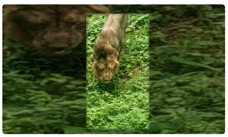 Lion eating grass in Gujarat Gir Sanctuary
