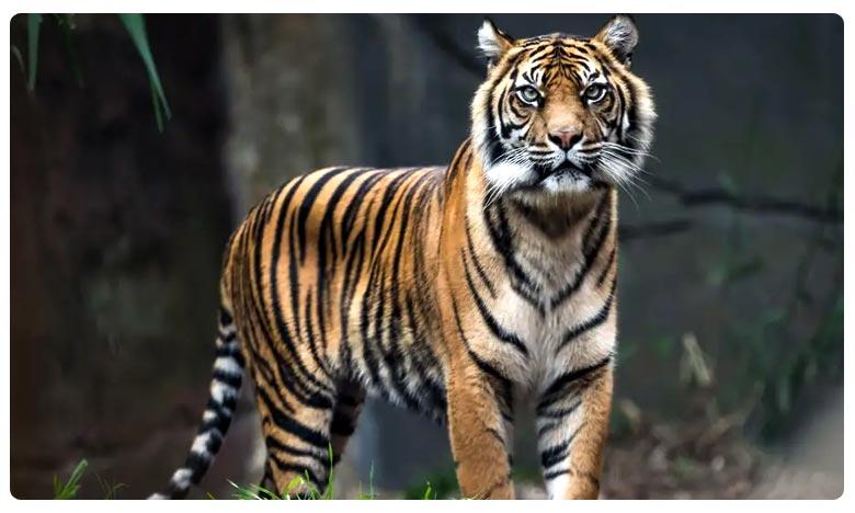 Tiger Felldown in well, బావిలో పడ్డ పెద్దపులి