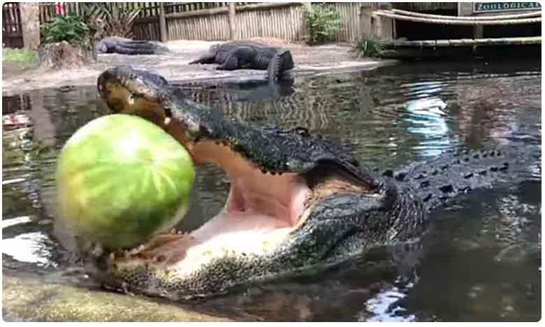 Watermelon Crush: Alligators Show Off Their Powerful Bite By Smashing Fruit With Jaw, ఒక్క గాటుతో ముక్కలైన పుచ్చకాయ.. మరి.. అది మొసలి గురూ..!