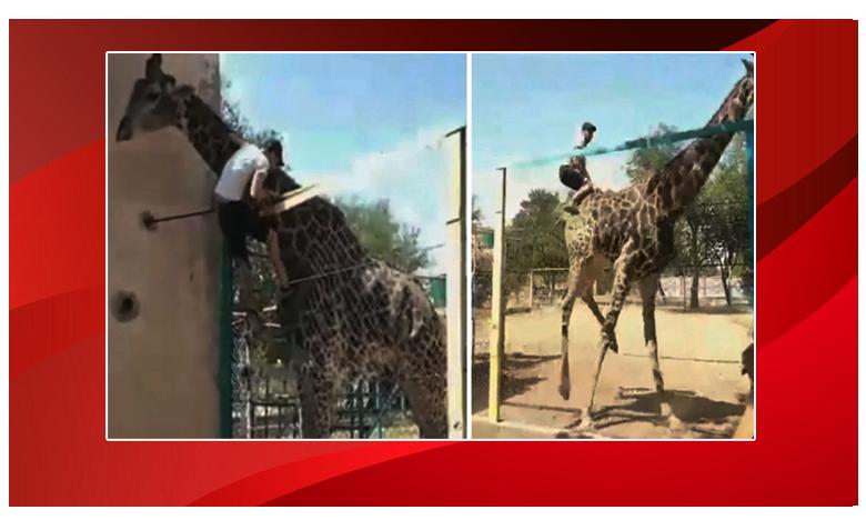 "Man Jumps Over Fence To Climb On Giraffe At Zoo, ""వార్నీ… వీడేంటి.. ఇలా ఎక్కేశాడు"".."