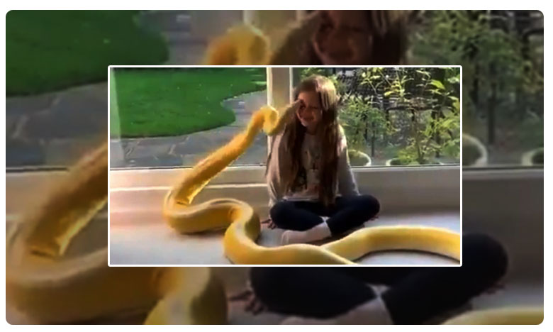 Little girl gets a kiss on forehead from her pet python Video is fascinatingly scary, నువ్వంటే నాకేం భయం ..? పైథాన్ తో చిన్నారి సయ్యాట..