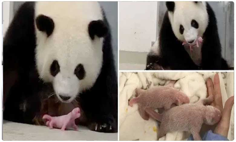 Panda gives birth to twins for first time at Berlin Zoo
