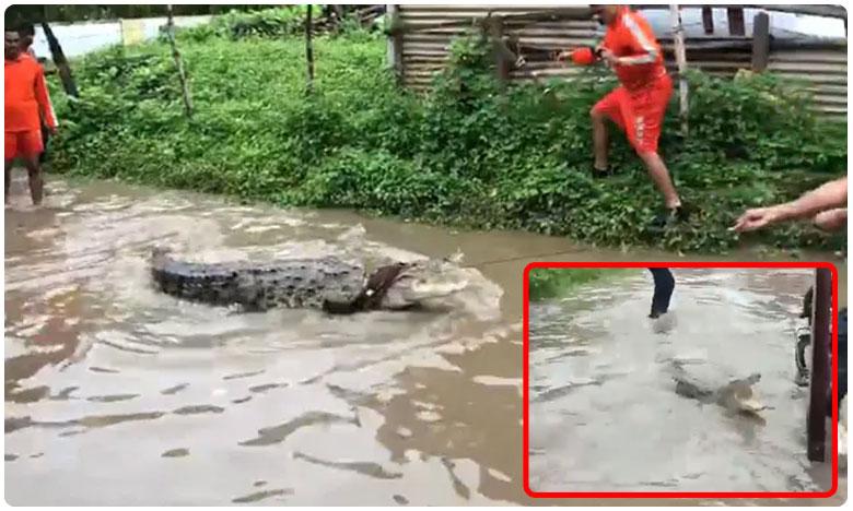Water In Kurnool Recedes More Crorodiles Seen On Nandayala Farms, భారీ వరదలకు కాలనీలోకి మొసలి