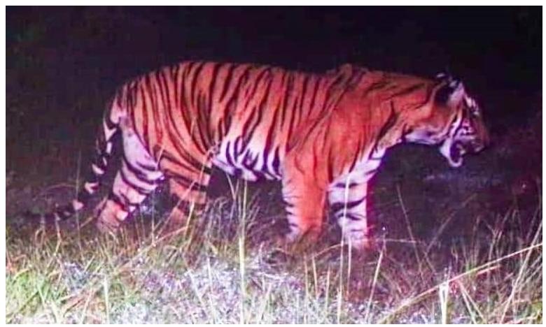 how soliga tribals elephants and a dog found elusive tiger, రక్తం రుచి మరిగిన పులిని ఎలా పట్టారంటే.. ?