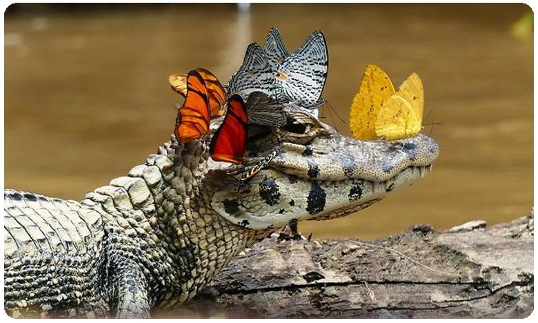Do you know why these butterflies are drinking tears?, ఇదితెలుసా..? సీతాకోక చిలుకలకు కన్నీళ్లే ఆహారమట..!