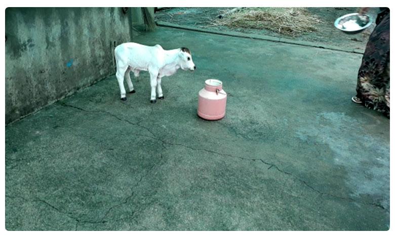 one feet Bull Born in Andhra Pradesh, అడుగు ఎత్తున్న ఆవుదూడ !