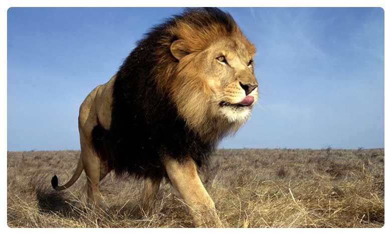 Lion bones smuggling caught red handedly whats the use of Lion bones?, సింహం ఎముకల అక్రమ రవాణా… ఎందుకంటే?