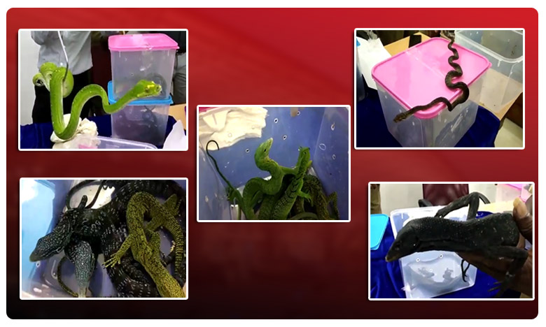 pythons, reptiles seized,Chennai airport,Customs officials,smuggled Malaysia