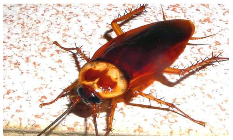 How to Prevent Cockroaches from Entering Your Kitchen, మీ వంటింట్లో బొద్దింకలా.. అయితే  ఫాలో దీస్ టిప్స్