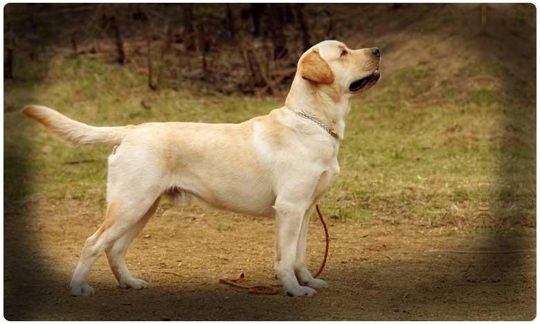 kcr s pet dog death.. police deny rti query because it will impede investigation, కేసీఆర్ పెట్ డాగ్ ' హస్కీ ' మృతి కేసు.. పోలీసులు ఏమంటున్నారంటే ?