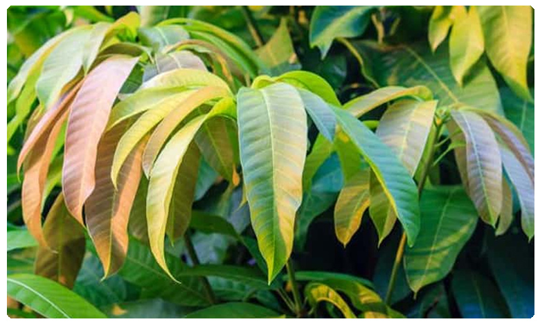 These Leaves Can Lower Your Blood Sugar Levels Quickly And Effectively, ఆశ్చర్యం.. మామిడాకులతో ఇలా చేస్తే..  బ్లడ్ షుగర్  మాయం