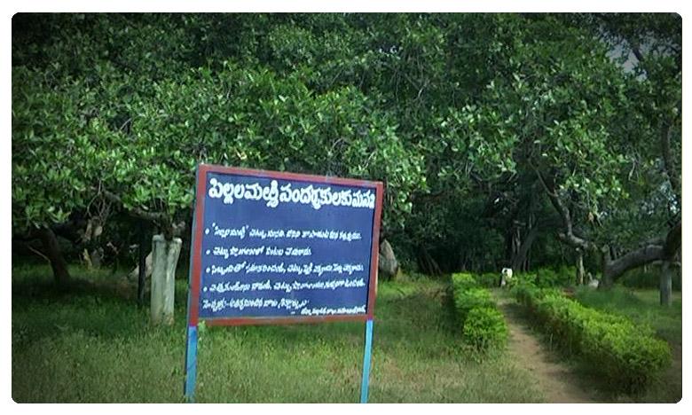 Pillalamarri (Children's Banyan) or Peerlamarri (Saints Banyan) is an 800-year-old., ఫలించిన వైద్యం..పిల్లల మర్రికి కొత్త ఊడలు..!