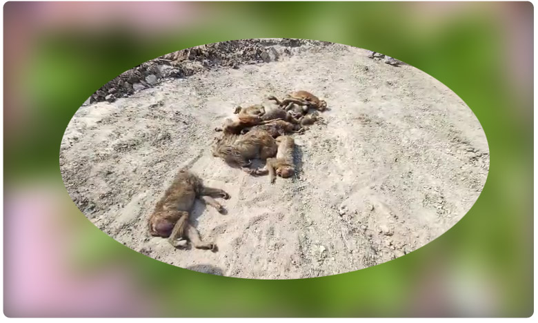 Twenty Monkeys Killed In Siddipet, దారుణం..20 కోతుల్ని చంపేశారు !