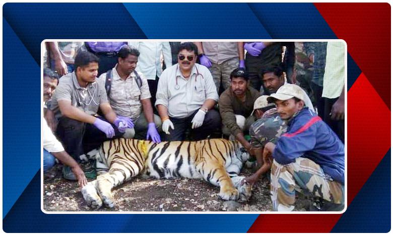 Tiger Search For Her Lover In Six Districts In Maharashtra And Telangana, నా ప్రేయసి మీకు ఏమైనా కనిపించిందా .. ? పులి గారి సుదీర్ఘ ' ప్రేమ ప్రయాణం '