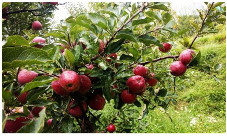 How to grow Apple trees, మన ఇంట్లో యాపిల్ చెట్లను పెంచడం ఎలా..?