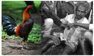 Man Dies at Chintalapudi in Cock War, పందెం కోడి…ప్రాణం తీసింది