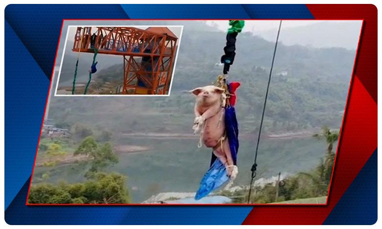 A pig was forced to bungee jump at a theme park in China., పందితో బంగీ జంప్.. చైనాలో థీమ్ పార్క్ నిర్వాకం..