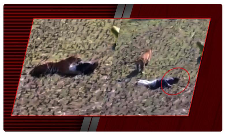 Man gets attacked by tiger plays dead to save himself., పులికి, మనిషి మధ్య ఒక్క క్షణం గ్యాప్ .. ఏం జరిగింది ?
