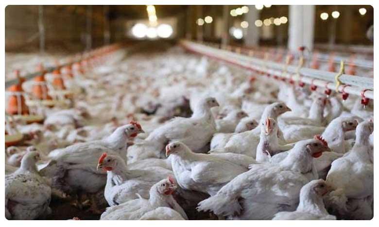Chicken price in Hyderabad, సంక్రాంతి ఎఫెక్ట్: సిటీలో చికెన్ ధరలు మండెన్..!