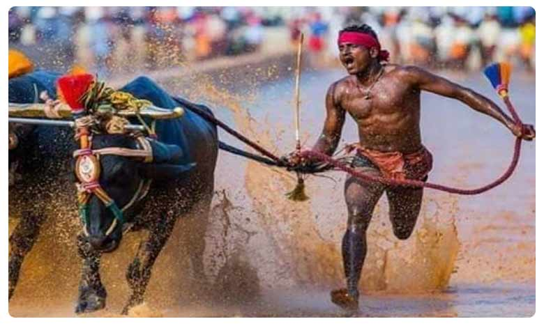 Faster Than Usain Bolt? Karnataka Man Running With Buffaloes Covers 100 Metres in Just 9.55 Seconds, రాత్రికి రాత్రే స్టార్.. బర్రెలతోనే సాధ్యమైందంటున్న శ్రీనివాస్..!