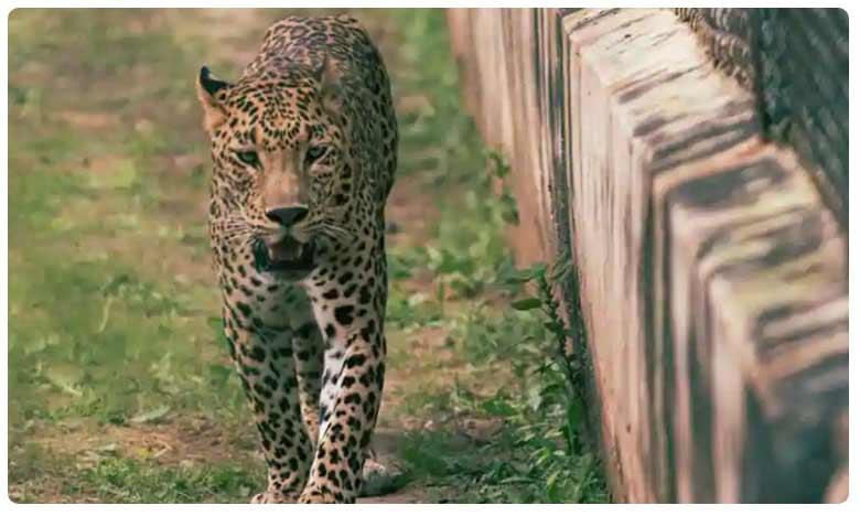 Leopard, Leopard: చిరుతకెందుకు బడి? విద్యార్థుల్లో అలజడి!